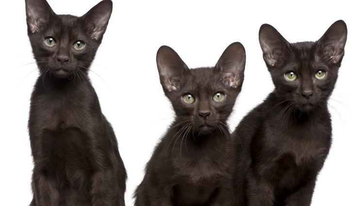 Es un gato muy conocido en todo el mundo que se tiene como mascota