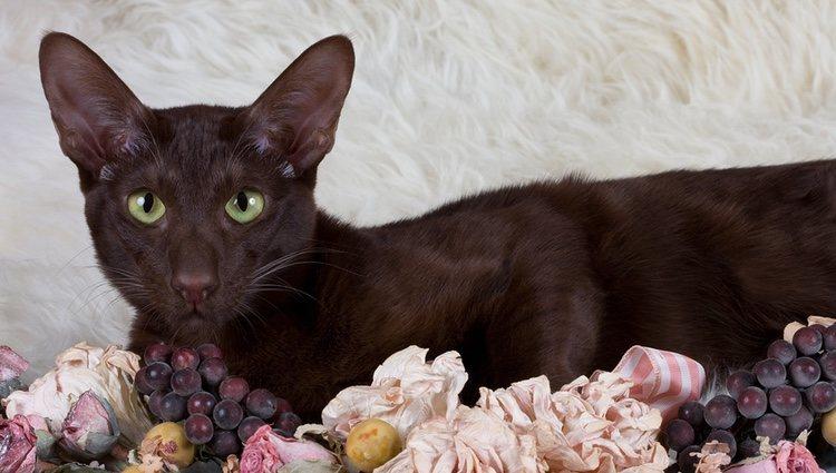 Los gatos Habana tienen unas orejas muy grandes y rígidas