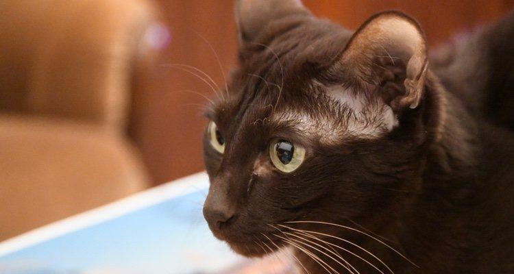 Los gatos Habana deben llevar unos hábitos de vida saludables