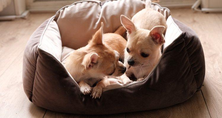 La alimentación de los perros mini es fundamental