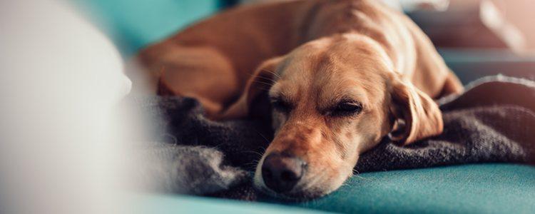 El perro se puede sentir decaído la operación