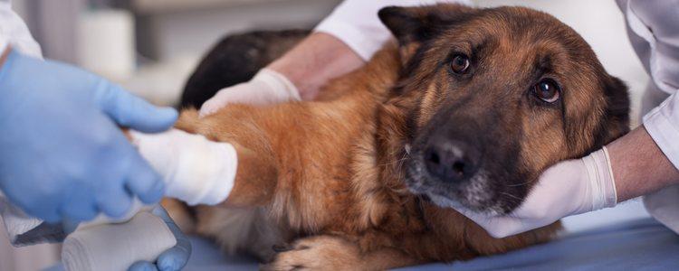 Deberás curar al animal tantas veces como te haya dicho el veterinario