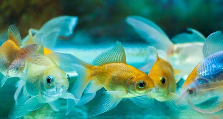 Si tu pez no realiza ningún movimiento mientras flota está dormido