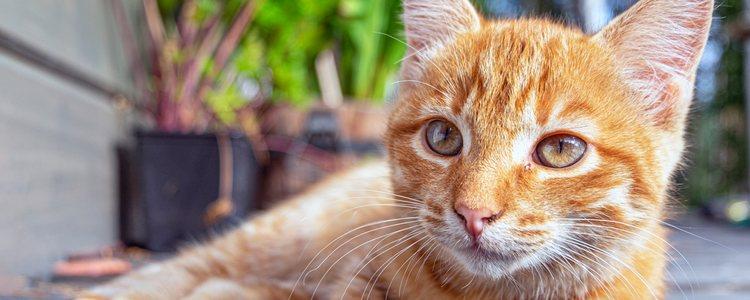En un gato con diabetes se recomienda comida húmeda