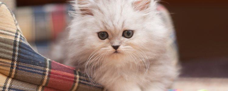 Son gatos de origen británico y de aspecto redondo
