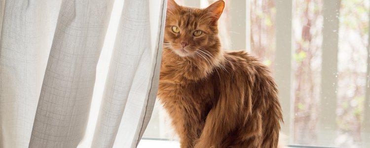 Son gatos originarios de América del Norte y se caracterizan por la forma triangular de su cabeza