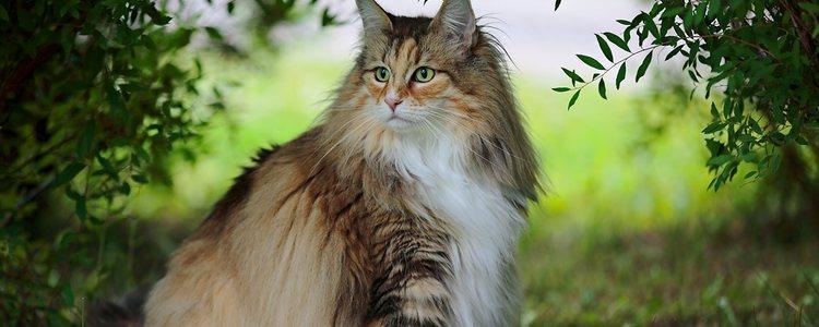 Posee mucho pelo largo sobre todo en el cuello y la cola