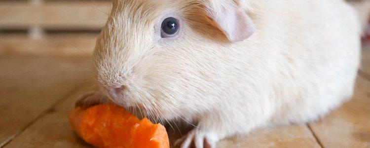 La alimentación tiene mucha importancia en la salud de tu cobaya