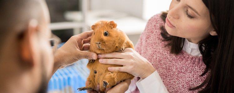 Si notas que algo va mal con tu cobaya, no dudes en llevarla al veterinario
