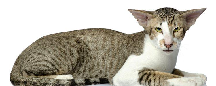 Los gatos orientales se llamaron Habanas