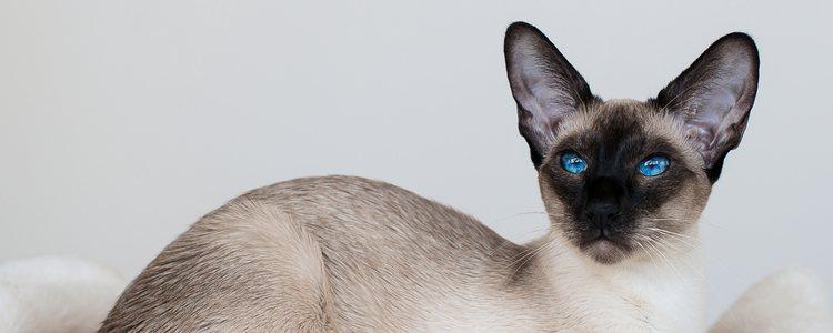La cabeza de los gatos orientales forma un triángulo