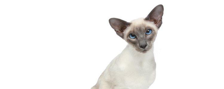 Los gatos orientales no necesitan cuidados especiales