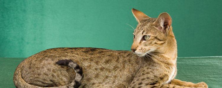 Los gatos orientales con manchitas se denominan Tortie