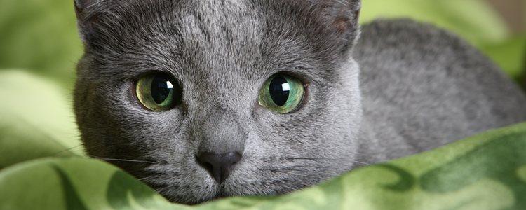 Estos gatos se caracterizan por sus ojos verdes y su inteligencia