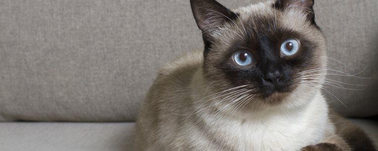 Se caracterizan por sus ojos azules y sus orejas puntiagudas