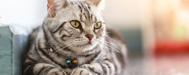 Estos son los gatos más apropiados para las personas que tengan alergía al su pelo