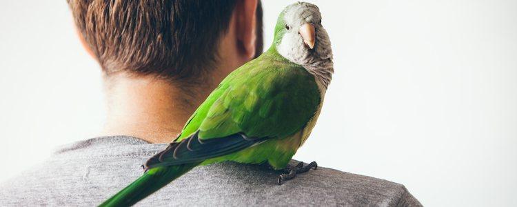 Estas aves suelen cantar a un volúmen myy alto que puede molestar