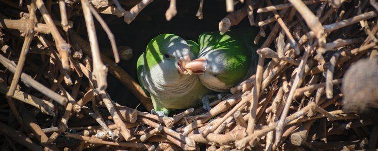 Las Comunidades Autónomas se encargan de retirar los nidos de las cotorras para tener esta especie controlada