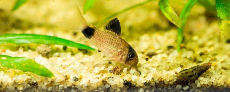 Los peces Corydora panda son los indicados para acuarios pequeños debido a su tamaño