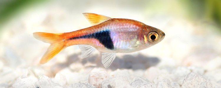 El pez arlequín tiene mucha energía y no para de nadar