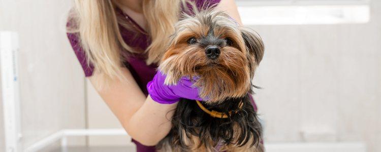 Si se detecta algo raro en la mascota se recomienda llevarla rápidamente a un veterinario