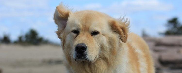 Hay perros que ya nacen con este trastorno