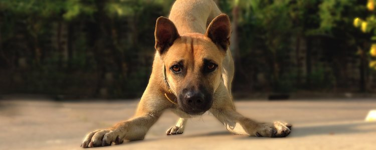 Es importante para el perro asociar el bozal a algo positivo