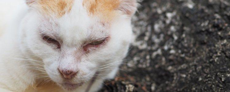 La conjuntivitis es un problema muy común en gatos, especialmente en cachorros