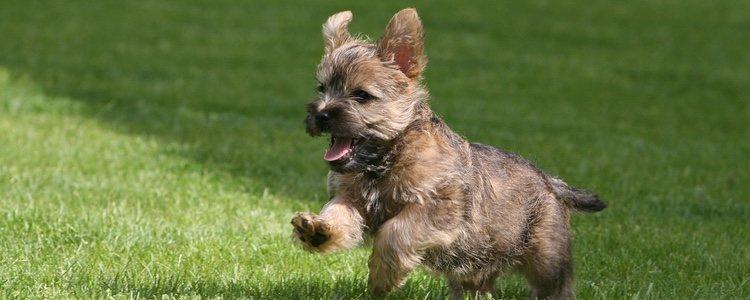 El Cairn Terrier es originario de Escocia