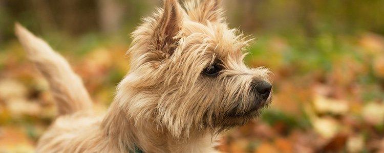 Esta raza de perro puede llegar a vivir 17 años