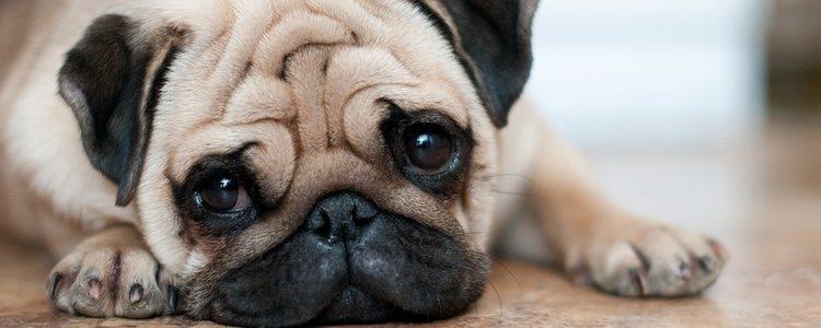 Los perros con arrugas necesitan de cuidados especiales
