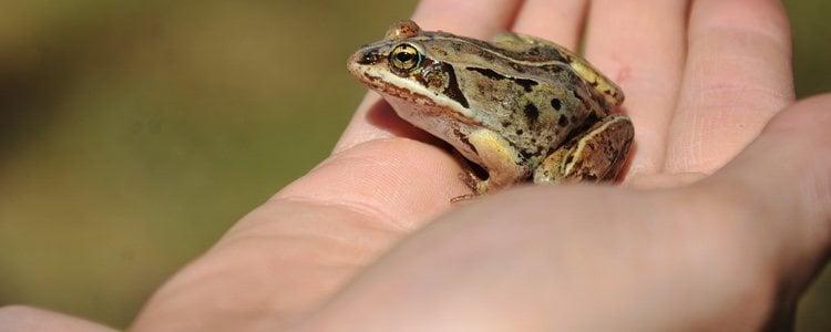 Es obligatorio hacerse con una licencia para tener una rana como mascota
