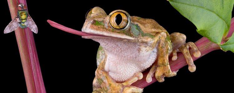 Se suelen alimentar de reptiles y anfibios
