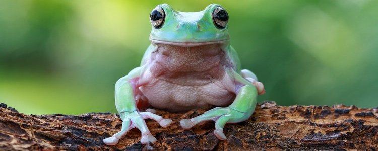 Antes de tener una rana piénsatelo bien porque pueden durar hasta 25 años