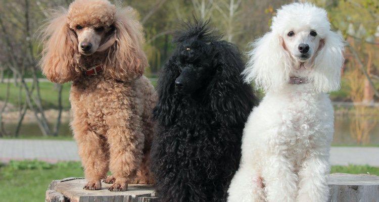 Son perros muy bonitos perfectos para concursos de belleza y cuidado de cabello