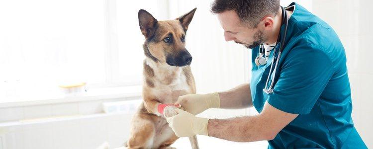 Hay numerosas heridas en perros que se producen por otros canes