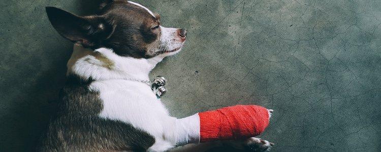 Antes de curar una herida en un perro no hay que ponerse nervioso