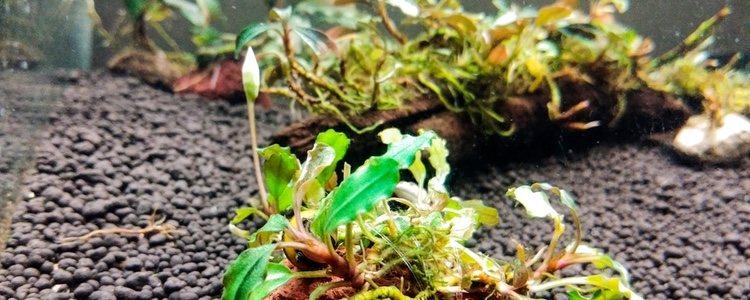 La bucephalandra es ideal para temperaturas entre los 20º y 28º