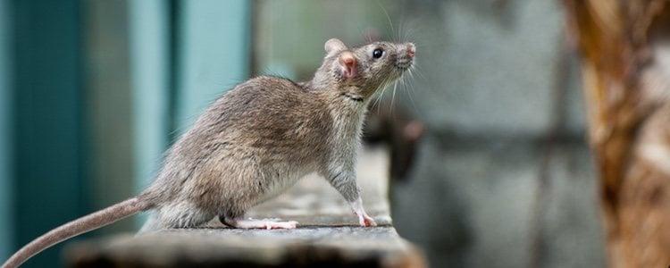 La saliva es otro método de contacto, sobre todo si el animal ha recibido un mordisco