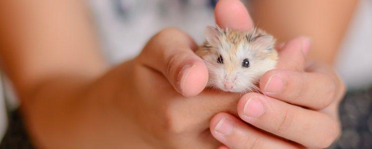 Cualquier roedor puede contagiarse de parásitos externos