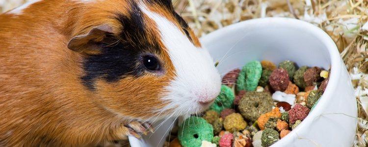Cobaya feliz comiendo en su jaula
