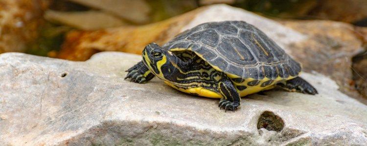 Las tortugas de orejas amarillas reciben este nombre por sus franjas amarillas en la cabeza