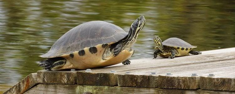 Las tortugas de orejas amarillas viven en espacios de agua dulce
