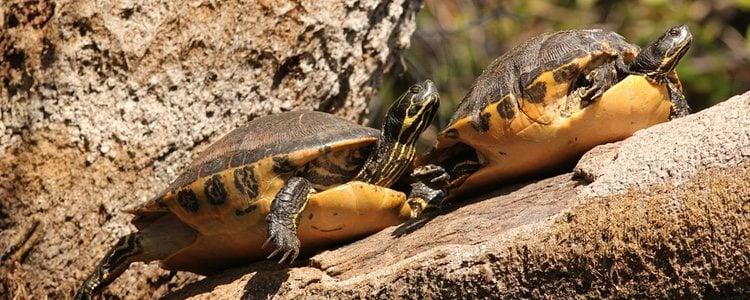 Para vivir en cautividad en un acuario, estas tortugas necesitan condiciones específicas