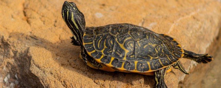 Las tortugas de orejas amarillas prefieren alimentarse de las plantas del acuario