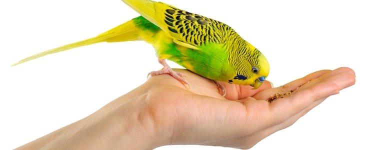 Es importante el tipo de alimentación que le darás a tu pájaro