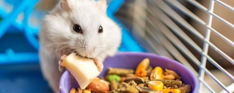 Когда хомяк толстеет, его жировая прослойка увеличивается и помогает защитить себя.