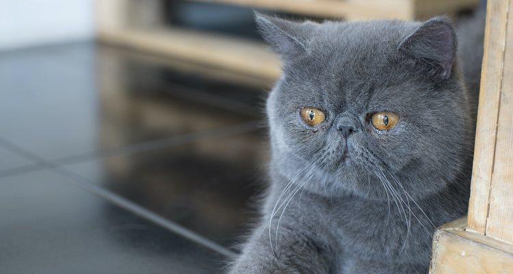 Son muy variadas las razas de gato Persa que existen