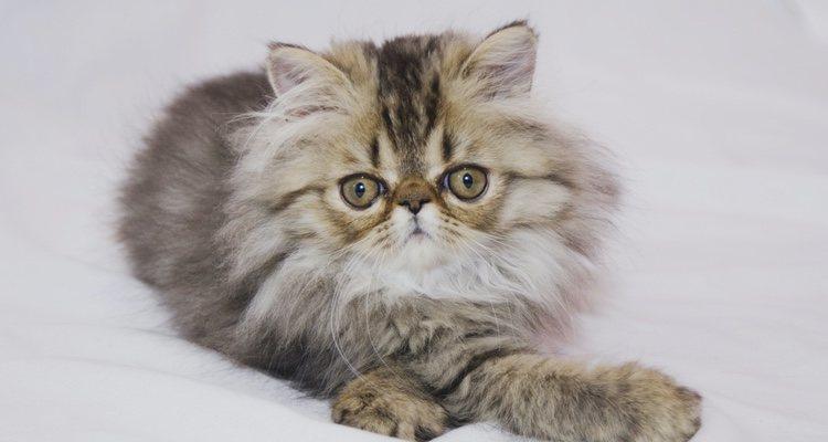 Elegir un tipo de gato Persa es muy complicado