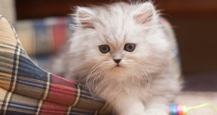 Los gatos Persas requieren una serie de cuidados específicos